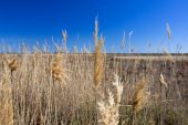 Phragmites Australis Under The Sun