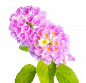 stock photo of lantana  - flower Lantana camara isolated on white background - JPG