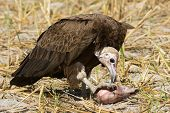 Hooded Vulture (necrosyrtes Manachus)   Feeding