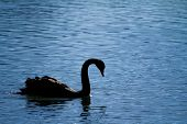 stock photo of black swan  - black swan in a pool in the summer palace - JPG