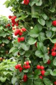 picture of strawberry plant  - Garden strawberry plant - JPG