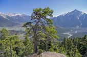 Pine On The Cliff Top. Caucasus, Russia.