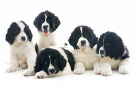 picture of newfoundland puppy  - purebred landseer puppies in front of white background  - JPG