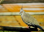 Crested Pidgeon