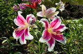 stock photo of stargazer-lilies  - Pink Lily Flowers on the plant in the garden - JPG