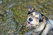 Happy German Shepherd Mix Dog Swimming In Stream