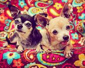 two cute chihuahuas toned with a retro vintage instagram filter