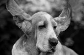 Ears ...
