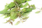 Fresh Green Mexican Dream Herb