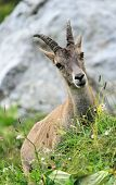 Female wild alpine, capra ibex, or steinbock portrait