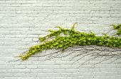foto of ivy  - Green ivy on painted white brick wall - JPG