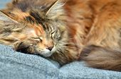 sweet young maine coon cat while sleeping