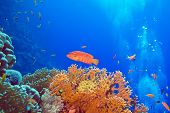coral reef with red exotic fish cephalopholis at the bottom of tropical sea