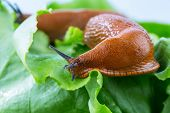 a slug in the garden eating a lettuce leaf. snail invasion in the garden