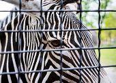 Grevy's Zebra Desert Behind A Grid