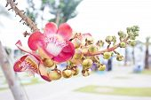 picture of cannon-ball  - Beautiful round white magenta color flower of Cannon Ball Tree, Sal Tree, Sal of India, Couroupita guianensis Aubl. The plant in Buddhism history and typically be founded growing in Thai Temple area. ** Note: Shallow depth of field - JPG