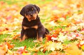 Rottweiler puppy sitting in Autumn leaves