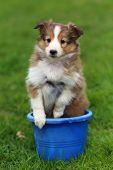 Shetland Sheepdog puppy sitting in blue bucket