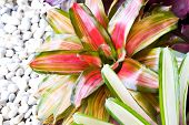Neoregelia Spectabilis Hybrid Pineapple Plant.