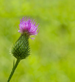 picture of scottish thistle  - pink milk thistle flower in bloom in spring - JPG