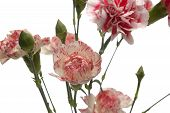 pic of tribute  - tribute of carnations isolated on white background - JPG