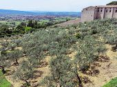 Olive forest below city center of in Assisi, Italy