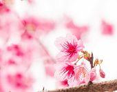 Thai Sakura In Winter On Tree, Prunus Cerasoides