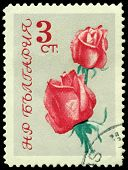 Vintage  Postage Stamp. The Flowerses Of The Rose On Gray Background.