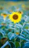 Sunflowers Field, Selective Focus On Single Sunflower