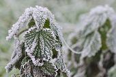 Frost On Nettle