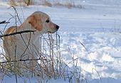 Yellow Labrador Puppy In Winter Portrait