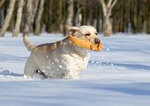 Yellow Labradors In Winter Running With An Orange Toy
