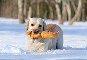 Yellow Labrador In Winter Playing With An Orange Toy