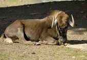 Black Wildebeest (connochaetes Gnou)