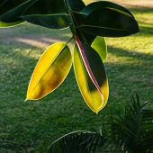 Leaves Of A Ficus