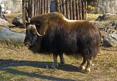 pic of oxen  - Musk ox lives in Northen America and Canada - JPG