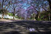 pic of tree lined street  - Suburban road with line of jacaranda trees and small branch with flowers - JPG