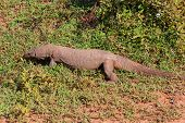picture of goanna  - Large Varanus komodoensis walking in the national park Yala Sri Lanka - JPG
