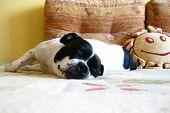 sweet sleeping dog