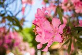 Oleander Rose Bay Flower