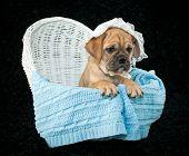 Baby Beabull Puppy