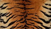 Siberian Tiger Skin Background.