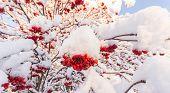 Snow Covered Rowan