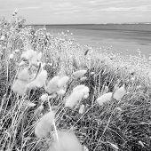 Closeup of fluffy seaside grasses