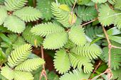 picture of mimosa  - Close up of Mimosa pudica  - JPG