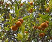 Mandarin Tree With Fruits And Leaves