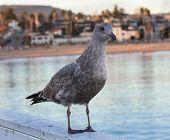 Seagull Near Water With Santa Cruz In Far Background