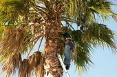 Arborist Working Up Palm Tree.