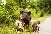 picture of piglet  - cute pig with piglets on countryside road - JPG