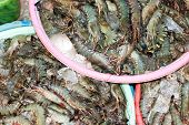 stock photo of tiger prawn  - Many Black tiger prawn freeze with ice - JPG